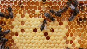 bejas trabajando en sus celdas para anunciar los trabajos apícolas de otoño